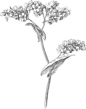 Fleur sarrasin noir sur blanc miel