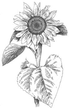 Fleur tournesol noir sur blanc miel