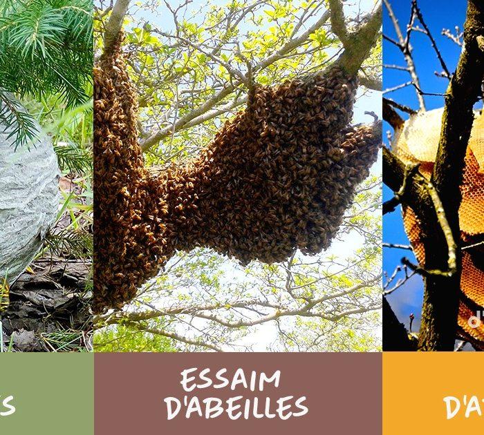 SOS Abeilles! Que faire si vous trouvez un nid ou un essaim d'abeilles?