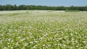La culture du sarrasin au Québecest une richesse agricole qui nous donne le succulent miel de sarrasin