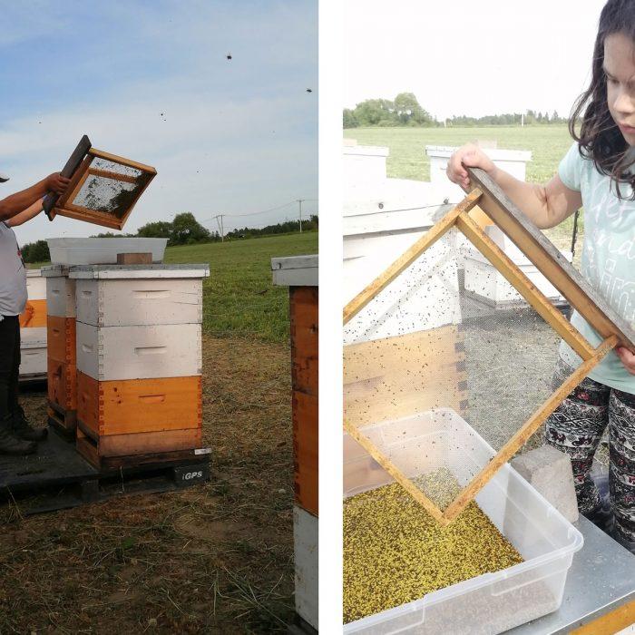 La récolte du pollen : nos secrets d'apiculteurs