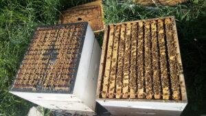 La récolte de la propolis de grille et la récolte de la propolis de cadre