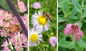 Jardin mellifère et fleurs pour aider les abeilles